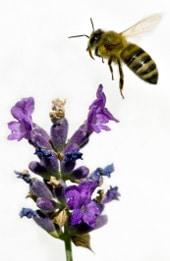 Abeille ramassant du miel