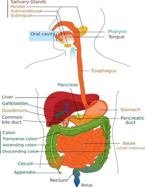 Diagramme de digestion