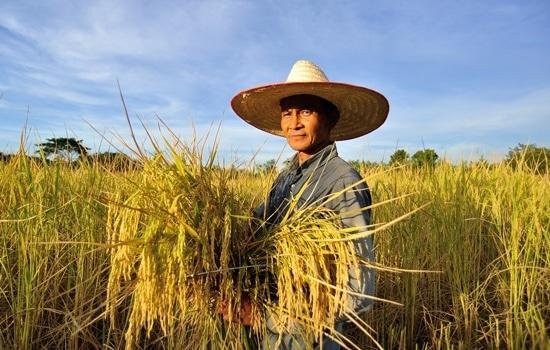 Homme travaillant sur les rizières