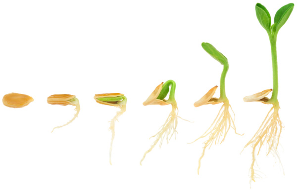 Graine de germination